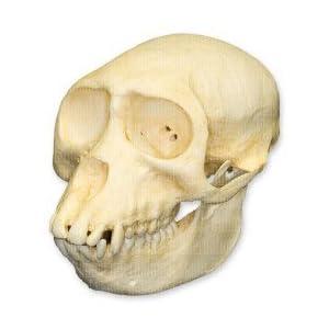 Amazon.com: Sooty Mangabey Skull (Female) (Teaching