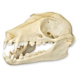Amazon.com: Straw-colored Fruit Bat Skull (Natural Bone ...
