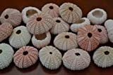 25 Pcs Bulk Pink Sea Urchins Sea Shell Beach Wedding Nautical