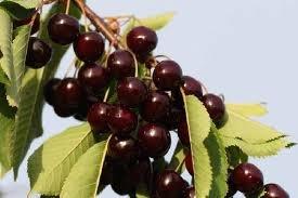 Arbre fruitier nain pour terrasse cerisier vari t - Arbres nains pour terrasses ...