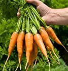 Carrot Caracas D2456.A (Orange) 500 Seeds by David's Garden Seeds