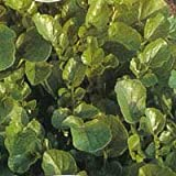 AMERICAN LAND CRESS - 5.5gm APPROX 4000 SEEDS (NO RUNNING WATER RQD)