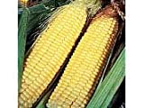 Sweetcorn Lark F1 Hybrid Seeds by T and M