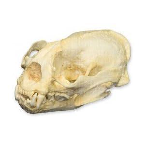 Amazon.com: Giant Otter Skull (Teaching Quality Replica