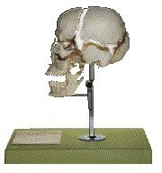 Beauchene Mounted Skull Model Professional