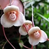 100pcs 5 Kinds Cute Monkey Face Orchid Seeds Monkey Orchid Bonsai Plants Flowers Seeds For Home & Garden 1