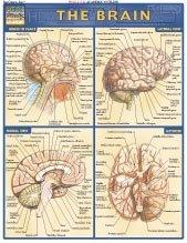 SEOH Brain Chart Illustrated