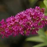 Buddleja Buzz ' Magenta' - Butterfly Bush 16cm Pot Size