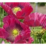 Just Seed - Flower - Poppy - Papaver Hens and Chickens - 250 Seeds
