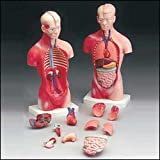 Budget Little Joe - Anatomical Torso with both Muscular and Surface Skin by Anatomical Chart Company