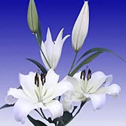 40 Fresh Cut White Asiatic Lilies | 24-28 Inches Long Stem | Fresh Flowers Express Delivery | Perfect for Birthdays, Anniversary or any occasion.