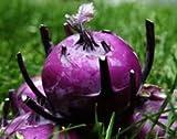 Kohl Rabi Purple Vienna