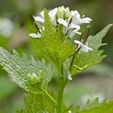 Wildflower - Garlic Mustard - 1000 Seeds