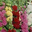 HOLLYHOCK - SUMMER CARNIVAL MIXED - 100 FLOWER SEEDS