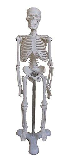 お手軽サイズの 人体 骨格 模型 フィギュア (45cm)