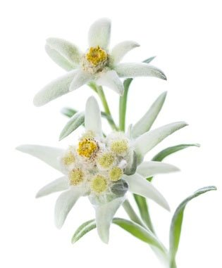 Edelweiss Natural Derived Plant Antioxidant Extract with Vitamin C for Hydration and Younger Looking Skin with Easy to Add Dropper Make Your Own Skincare Skin Perfection (Edelweiss Extract compare prices)