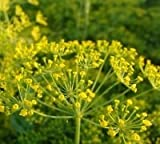 Just Seed Herb - Dill Mammoth - Anethum graveolens 'Mammoth' - 1200 seeds - Economy Pack