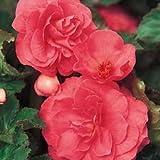 12 Begonia Bulbs / Tubers - Double Grandiflora Type - 3 Each of 4 Colours - Free UK P & P