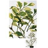 オンリーワン 植栽・美しい葉 シマトネリコ(斑入り) UN3-H4103