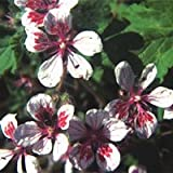 Just Seed - Flower - Erodium pelargoniiflorum 10 Seeds - Unusual
