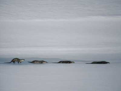 North American River Otters Slide Across the Ice for Fun Stretched Canvas Poster Print by Michael S. Quinton, 32x24
