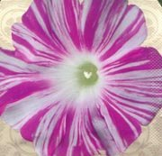 Treasuresbylee - Sibyl's Dance Morning Glory - 25 Heirloom Flower Seeds
