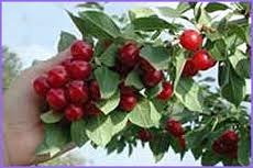 arbre-fruitier-nain-pour-terrasse-cerisier-variete-morel-hauteur-environ-1-m
