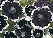 50 Penny Black Nemophila Flower Self-Seeding