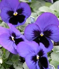 Pansy Bedding Plants - Blue Blotch X 12 (Not Plugs)