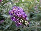 Buddleja Davidii Empire Blue or Butterfly Bush Shrub