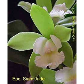 Epc Siam Jade 321H MP00145
