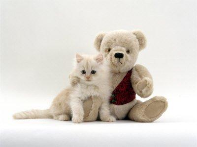 Domestic Cat, Fluffy Cream Kitten  Cream Teddy