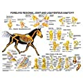 Forelimb Anatomy Chart