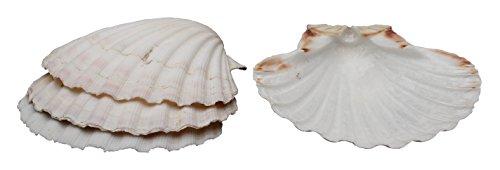 harold-import-company-natural-baking-shells-set-of-4-4-natural-seashell