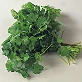 CORIANDER - Lemon - 100 seeds