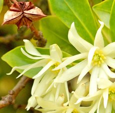 Anise Star Essential Oil (1oz) – origin China