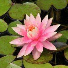 Plants Guru Lotus Pink Nymphaea