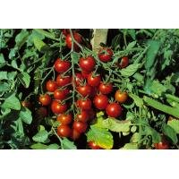 vegetable-kings-seeds-pictorial-packet-tomato-sweet-million-f1