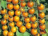 3 Tomato Plug Plants - Sent Beginning Of March - Gold Nugget Yellow Cherry Tomato - Pre.order Now!