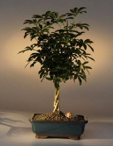 Bonsai Boy's Hawaiian Umbrella Braided Twist Bonsai Tree Arboricola Schefflera
