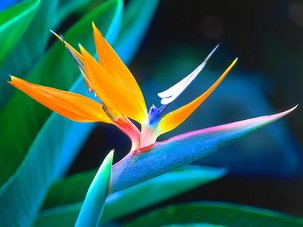 Bird of Paradise seeds