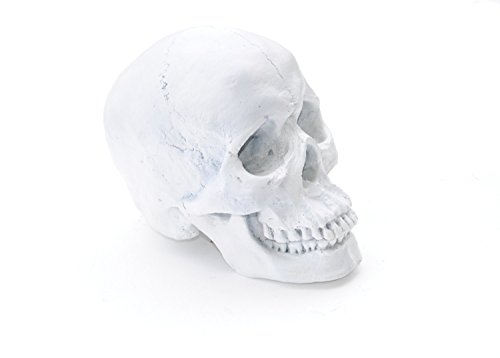 Large - Life Size Human Anatomy - Faux White Human Skull - Resin Home Decor - Table Top Skeleton Head SK01 (Tabletop Skeleton compare prices)