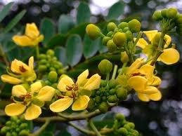 Senna siamea - Useful Tropical Legume Tree 3 seeds