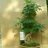 Seifu Seeds Bonsai seeds 50pcs/pack Dawn Redwood Bonsai Tree Grove - Metasequoia glyptostroboides,DIY home gardening!
