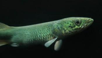 ピラルクー ペルー・アマゾン河 (約10~12cm)<1匹>[生体]