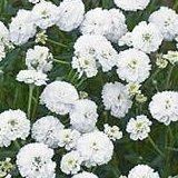 【耐寒性】【宿根草】 アキレア ノブレッサ 2株セット 【イングリッシュガーデン】