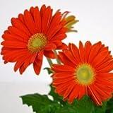 Plants Guru Gerbera Orange