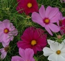 Cosmos - Cutesy Mixed - 25 Seeds