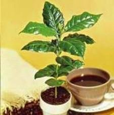 Kona Coffee Plant Seeds