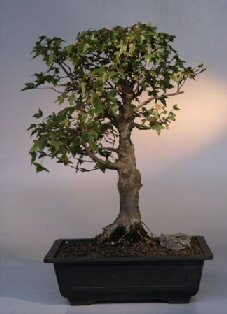 Buy Trident Maple Bonsai Tree.(acer buergerianum)
